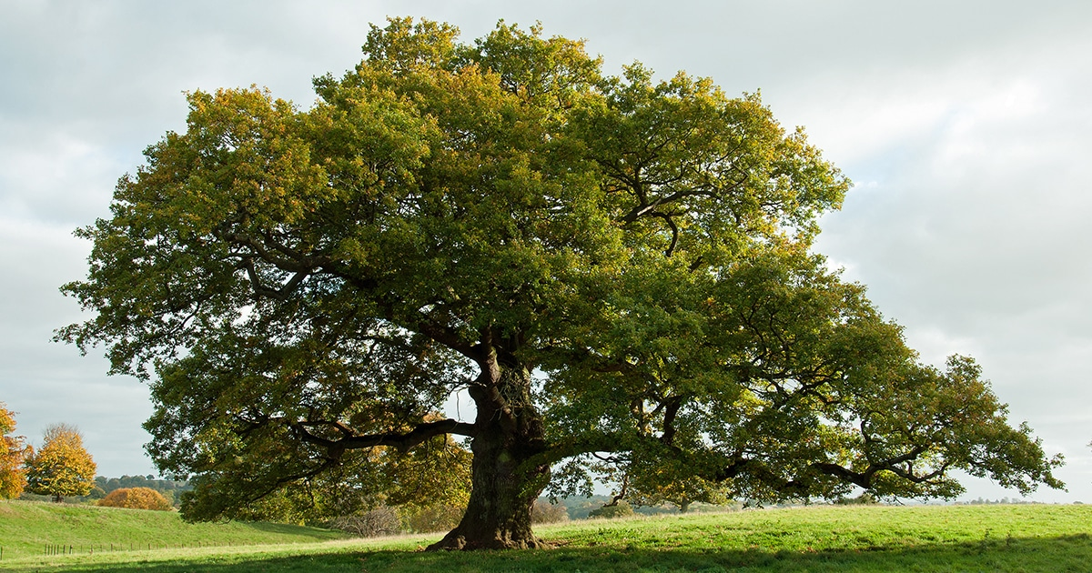 Comment dessiner les feuilles d'un arbre?